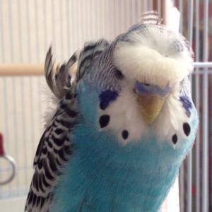 羽衣セキセイインコの投稿画像